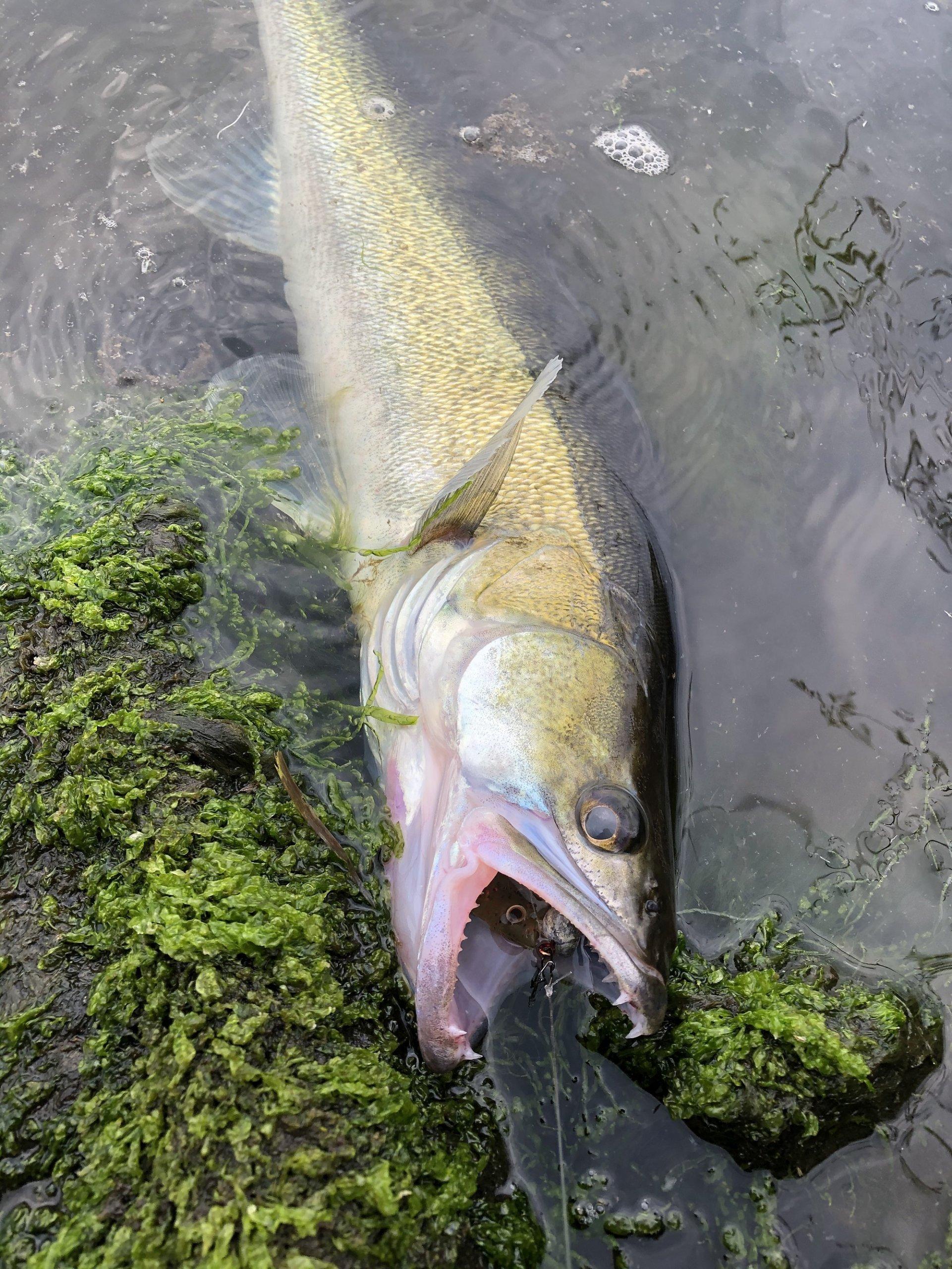 Die Zander im Nord-Ostsee-Kanal können zickig sein. Doch dieser Raubfisch hat aggresiv beim Angeln mit Gummifisch gebissen