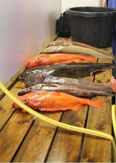 Erst müssen die Fische filetiert werden. Dann beginnt die Suche nach den Nematoden im Filet