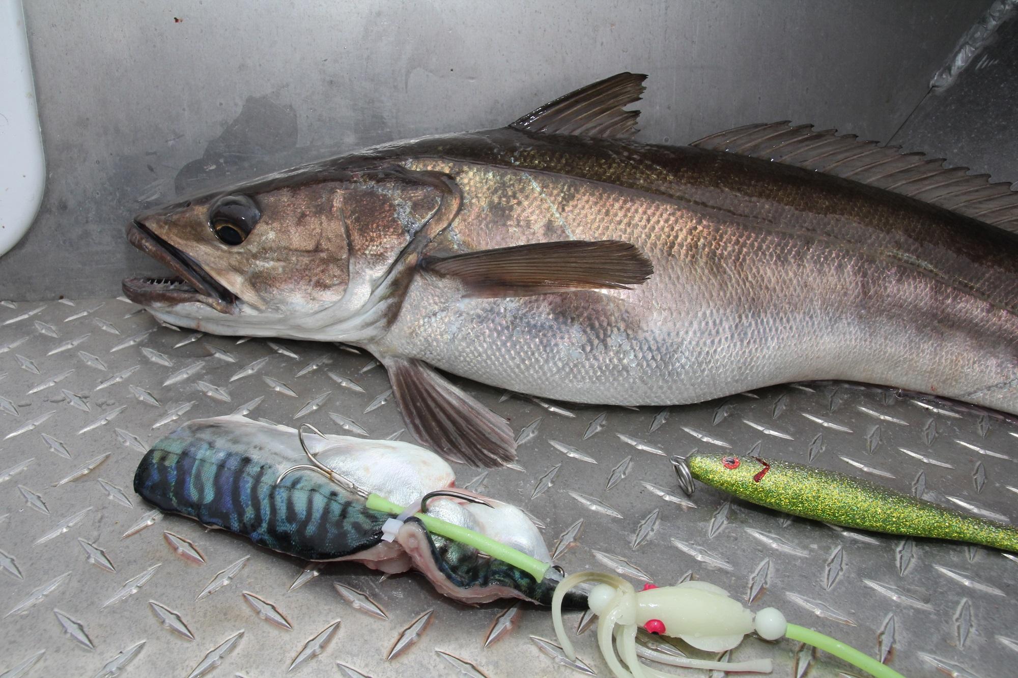 Ins Maul eines Seehechtes passt einiges rein. Ein fettes Makrelenfilet darf's schon sein