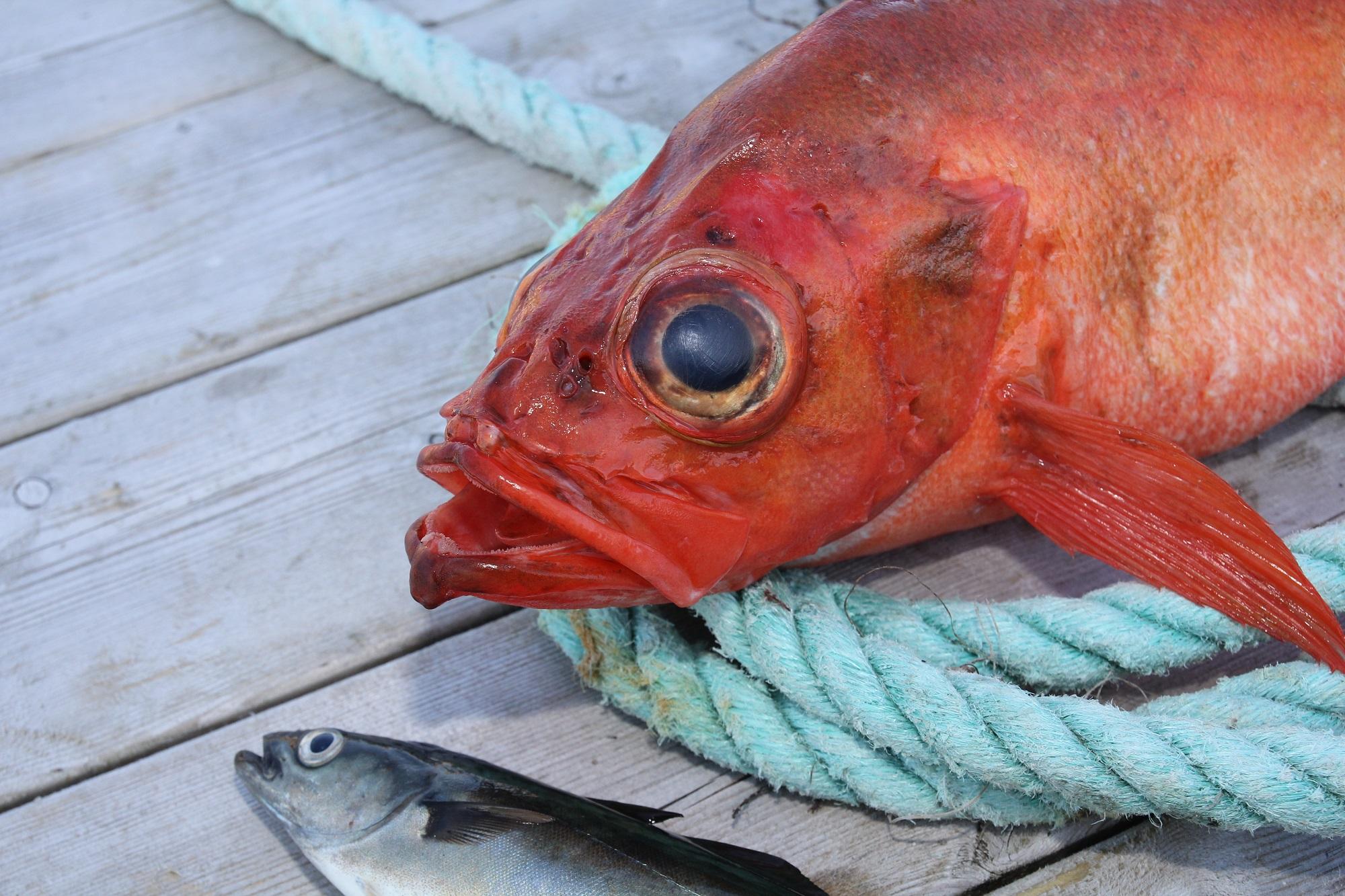 Mit Fetzen von Makrele oder Seelachs lassen sich super Rotbarsche fangen