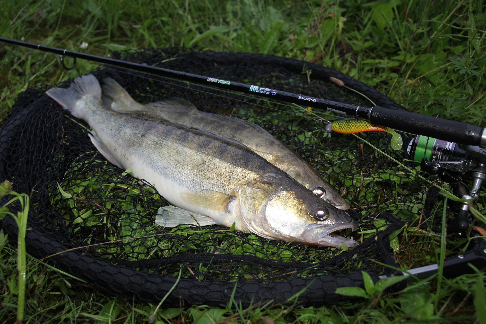 Im Schnitt sind die Kanalzander beim Spinnfischen zwischen 40 und 60 Zentimeter lang