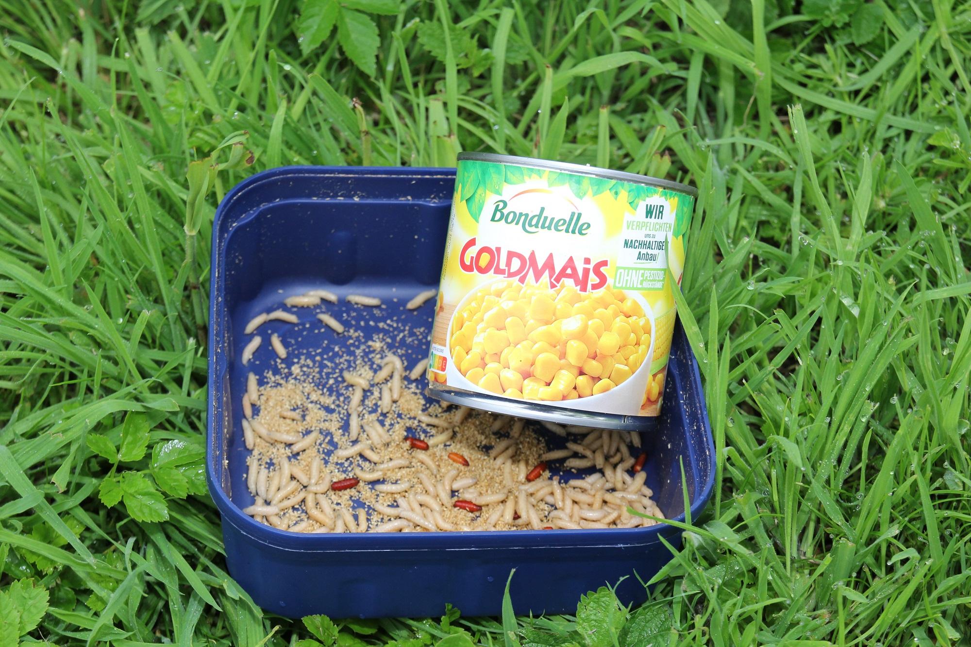 Mais kann super zusammen mit Maden beim Angeln auf Schleie angeboten werden