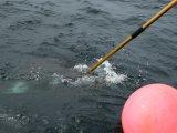 Dann geht es schnell: Ein kräftiger Stoß und die Spitze der Harpune ist im Fisch