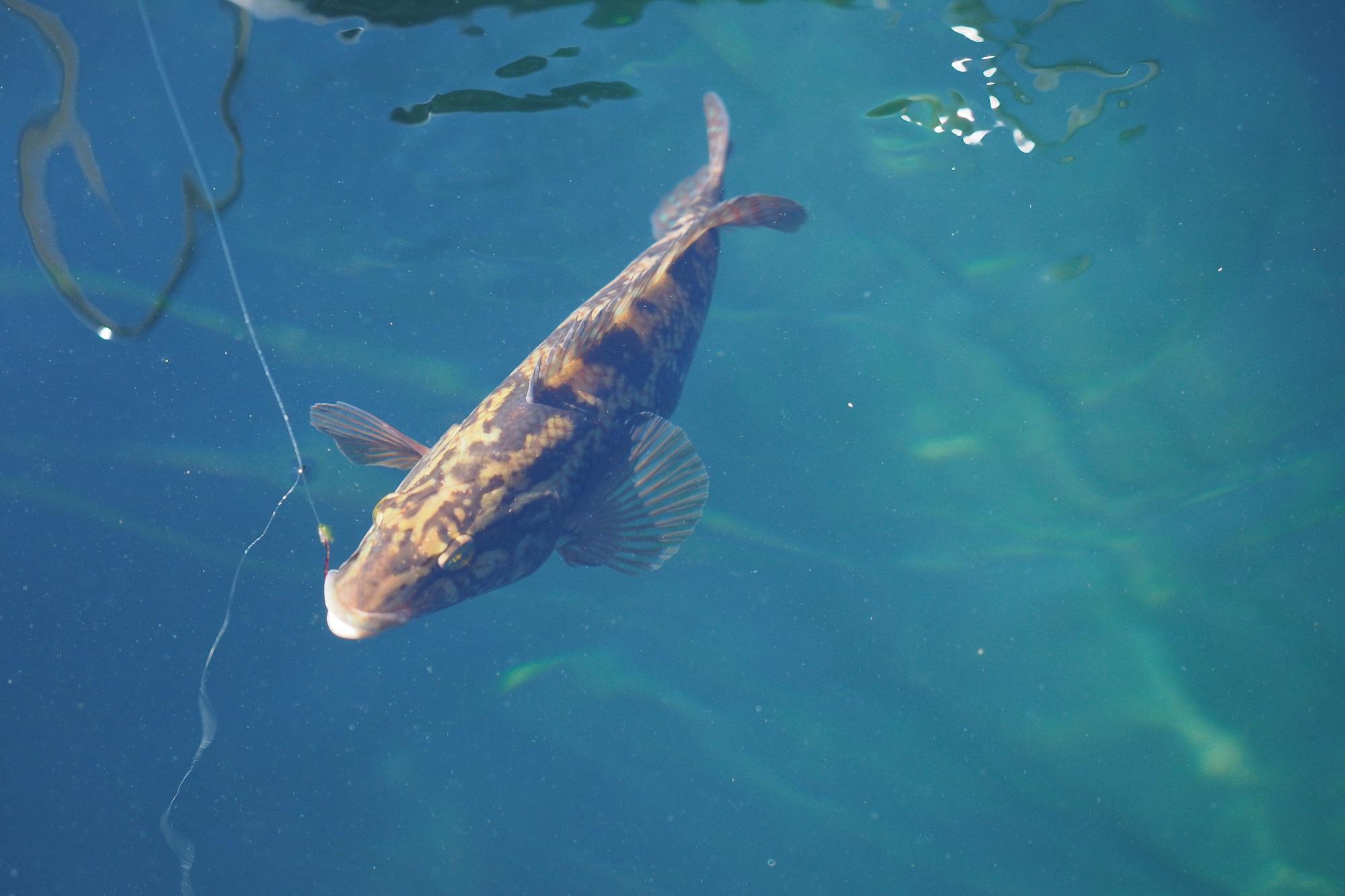 Beim Angeln mit Fischfetzen oder Garnelen als Köder gehen in Norwegen immer wieder ufernah Lippfische an die Haken