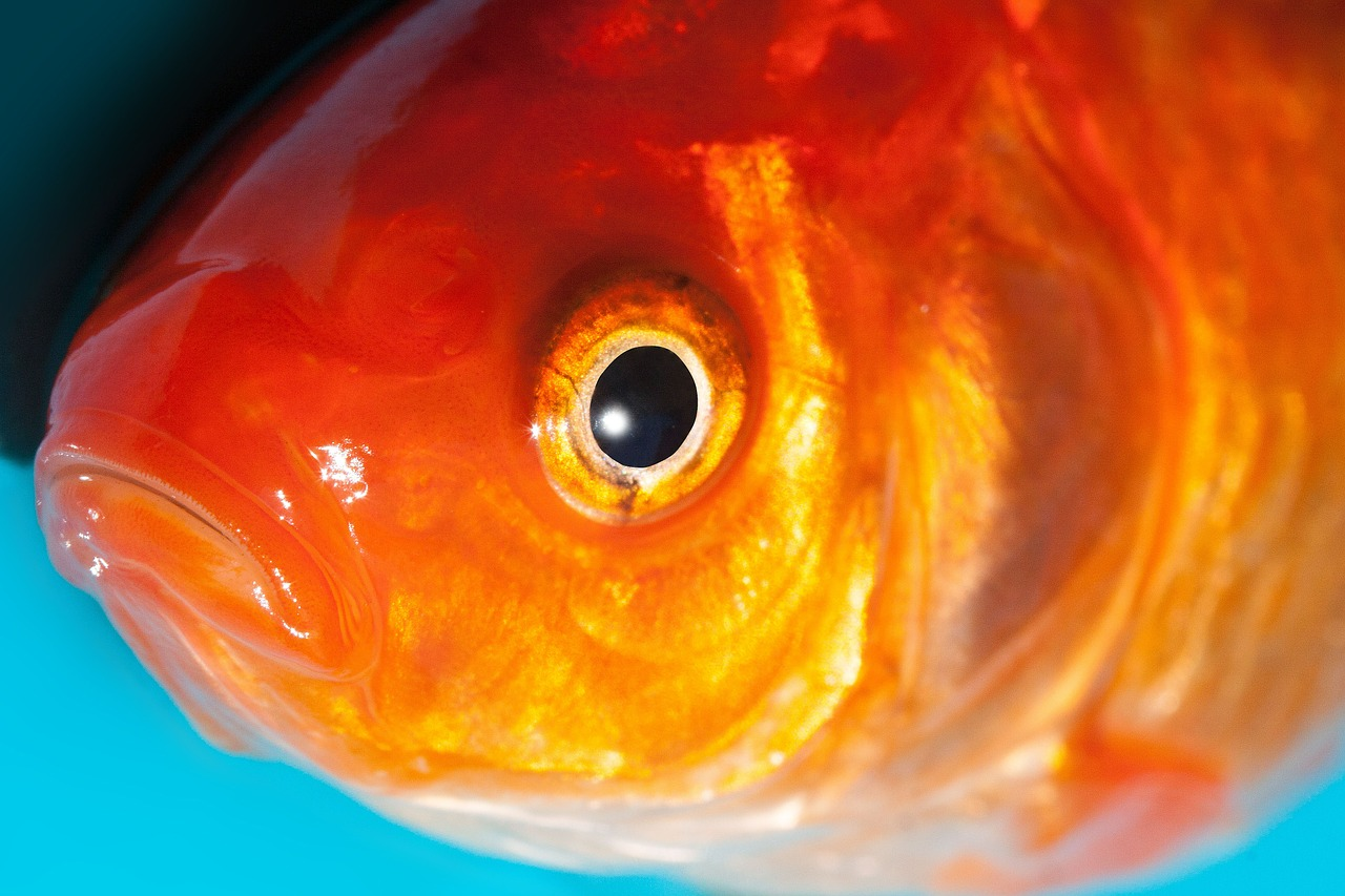Goldfisch.jpg