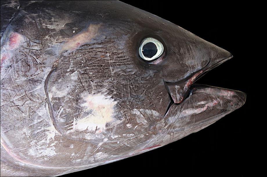 Thunfisch.JPG